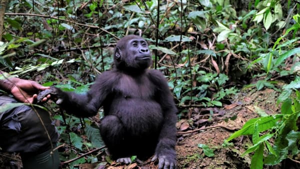 Give a Helping Hand to Orphaned Gorillas
